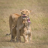 Mother and child.... (Duncan Blackburn) Tags: 2018 big5 cat kenya masaimara lion mammal nikon nature wildlife