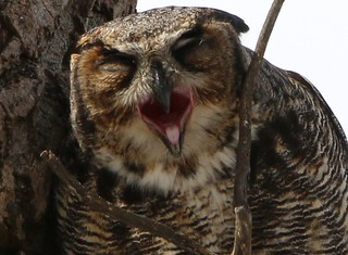 Matin difficile pour le Grand Duc...Great Horned Owl