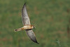Nankeen Kestrel (VS Images) Tags: nankeenkestrel kestrel falcocenchroides falconidae falcons birds bird birding bif birdsinflight flight grasshopper insect feathers wildlife wildlifephotography animals avian australianbirds australianwildlife australia nsw nature ngc naturephotography vsimages vassmilevski olympus olympusau getolympus m43 olympusinspired