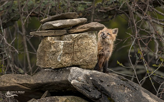Inquisitive Kit - Red Fox