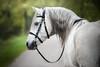 andalusian (mona_hoehler) Tags: horse horses pet animal stallion andalusian white boy lusitano spanish english dressage beauty love model shooting nikon tamron summer