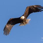 Female Bald Eagle returns home - 5 of 31 thumbnail