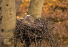 Great Horned Owlets (Kevin Povenz Thanks for all the views and comments) Tags: 2018 march kevinpovenz ottawa ottawacounty ottawacountyparks grandravinesnorth greathornedowl owlet owlets nature wild outside outdoors nest twigs branches evening tree uphigh