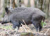 Wild Boar Sus scrofa Sowe 028-1 (cwoodend..........Thanks) Tags: forestofdean gloucestershire wildlife gloucestershirewildlife wildboar boar sowe susscrofa woodland