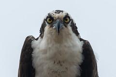 Osprey of the Jersey Shore | 2018 - 3 (RGL_Photography) Tags: birding birds birdsofprey birdwatching fisheagle fishhawk gardenstate jerseyshore monmouthcounty newjersey nikonafs600mmf4gedvr nikond500 osprey pandionhaliaetus raptors seahawk us unitedstates wildlife wildlifephotography