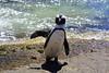 Salut , salut!!!!!!!!South Africa _6086 (ichauvel) Tags: salut coucou hello pingouins manchot manchotducap simonstown régionducap provinceducap capetownprovince réserve bouldersbeach plage beach afriquedusud southafrica afrique africa voyage travel exterieur outside amusant funny océan eau water animal