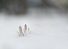 Schnee im März... (angelika.kart) Tags: natur schnee krokus blüten blumen
