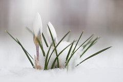 Little surprise for crocus this morning (A_Peach) Tags: helios park flower spring snow mft m43 lumix panasonic microfourthird micro43 apeach anjapietsch vintagelens manualfocus adaptedlens dof bokeh plant nature availablelight crocus