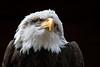 Cheyenne (hehaden) Tags: eagle baldeagle haliaeetusleucocephalus hawkconservancytrust hampshire sel70200g