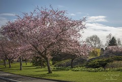 Happy first day of spring - Beacon Hill Park, Victoria, BC (Freshairphotography) Tags: firstdayofspring beautifulbc beaconhillpark springblossoms spring springflowers springtime vancouverisland victoriabc peaceful park floweringtrees canada coast flowers naturesart