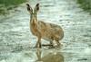 March Hare (Explored) (Pat Galka) Tags: otmoor hare oddington england unitedkingdom gb explored