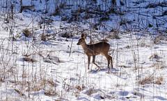P1510644 - Reh im Gegenlicht (Bine&Minka2007) Tags: reh rehe deer wald forest schnee winter wildlife wildtiere weis lichtung waldlichtung hungrig hunger leica100400 lumix gx8 germany christal