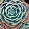 Drink It Up! (Viejito) Tags: agave cactus agavepotatorum kichiokan centuryplant agaveparryi cabbagecactus mezcal maguey tequila agaveparryihuachucensis agavaceae agavoideae asparagaceae plant santarosastreet marshstreet pacificstreet sanluisobispo california slo usa unitedstates geotagged amerika amérique américa america danquayle potato potatoe square drink alcohol pulque aguardiente piña tobalá agaveverschaffletii agavepotatorumnanavariegata ambroiseverschaffelt canon powershot s100 canons100 geo:lat=35281074 geo:lon=120658504 blakeslee 500x500 water drops rain
