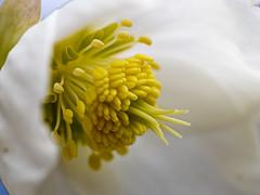 2018-03-22 19-16-34 (C) (turbok) Tags: alpenpflanzen pflanze schneerosechristroseoderweihnachtsrosehelleborusniger wildpflanzen c kurt krimberger