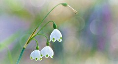 Purity Hope Rebirth (Christina's World Off and On) Tags: snowdrops flower spring bokeh pastels nature garden purple white green textures coth coth5