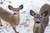 Doe and Fawn (Jenna.Lynn.Photography) Tags: wildlife wildlifephotography doe fawn momma mama mom buckfawn deer fur furry dof pov eos canon country natur nature eyes ears brown snow white nose blur pose animals animal march april portrait winter 5dmarkiii 5dmark3 macromonday