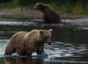 Coexisting (♞Jenny♞) Tags: grizzlybearbokeh jennygrimm alaska battleriveralaska2013 specanimal