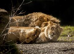 Dublin Zoo (cmwild31) Tags: dublin zoo lioness