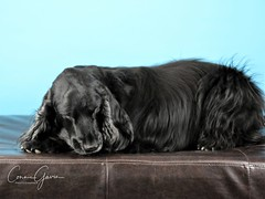 12/52 - Sammy 2018 (conniegavin12) Tags: 52weeksfordogs fieldspaniel spaniel dog pet