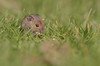Bébé mulot (Eric Penet) Tags: mulot sylvestre rongeur jeune mammifère mammal wildlife wild animal sauvage avesnois france faune rodent mouse wood woodmouse jardin mars printemps