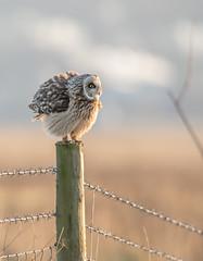 SEO 2 (ice21964) Tags: owls bird prey wildlife short eared owl nature