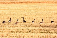 Migrating geese, Millicent, Alberta (aud.watson) Tags: canada alberta newellcounty brooks albertaprairie praire plains agriculture grain cropped gran straw migratingbirds birds canadageese geese goose flock brantacanadensis