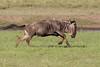 Action! (Ring a Ding Ding) Tags: africa connochaetes ndutu nomad serengeti tanzania action joyful male nature racing running safari wildebeest wildlife shinyangaregion coth coth5
