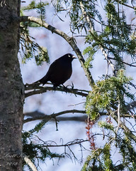 Grackle (dbking2162) Tags: grackle birds bird nature nationalgeographic wildlife trees indiana outside eyes shadows