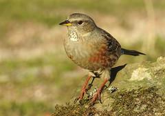 Ferreirinha-alpina /  Alpine Accentor (Prunella collaris) (Marina CRibeiro) Tags: