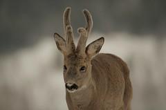 """"""" den mellomste bukken bruse """".... (KvikneFoto) Tags: rådyr roedeer natur norge hedmark kvikne tamron nikon bokeh snø snow winter vinter"""