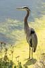 Great Blue Heron (Ardea herodias) (Jose Matutina) Tags: ardeaherodias bolsachicaconservancy aves bolsachica california greatblueheron huntingtonbeach orangecounty sel70300g sonya7rii wildlife