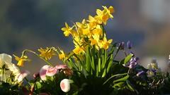 Endlich Frühling!!!! (marionkaminski) Tags: ostern easter paques flower fleur osterglocke fiori flores frühlingspringtime printempsprimavera