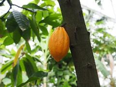 Kakao im Botanischer Garden Heidelberg (lui.lupp) Tags: kakao cacao heidelberg botanic gelb