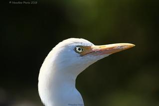 Kuhreiher - Cattle egret