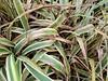 Variegated Flax Lily 'Vairegata' (Dianella tasmanica): Leaf spot, leaf blight (Plant pests and diseases) Tags: variegated flax lily variegata dianella tasmanica leaf spot bight