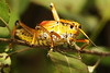 3S5X3182  Lubber (Eileen Fonferko) Tags: grasshopper lubber insect nature wildlife