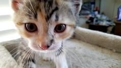Aphrodite (EmperorNorton47) Tags: cat cats kitten pet pets animal portolahills california spring cameraphone hemingwaycat polydactyl calico calicocats