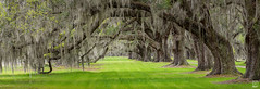 Plantation Panorama (Del.Higgins) Tags: panorama pano plantation south carolina beaufort low country lowcountry living southern charm spanish moss live oak dixie