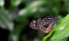 re (Tartarin2009) Tags: papillon butterfly sideview côté closeup malaisie malaysia kualalumpur park farm insect insecte wildlife nature bokeh travel animal nikon d7000 naturebeauty plant plante coth5