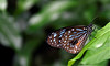 re (Tartarin2009 (+3,700,000 views)) Tags: papillon butterfly sideview côté closeup malaisie malaysia kualalumpur park farm insect insecte wildlife nature bokeh travel animal nikon d7000 naturebeauty plant plante coth5