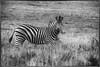 Zebra Monochrome (zenseas) Tags: africa zebra wild plainszebra workingvacation zebras amakhalagamereserve workingholiday equusquagga vacation southafrica holiday burchellszebra