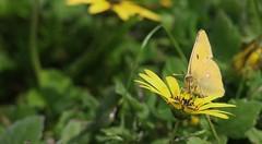 Borboleta Maravilha, Clouded Yellow (Colias croceus) (carloscmdm) Tags: insetos borboleta natureza