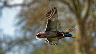 Speaking in flight or duck with 2 heads :)