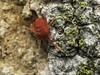 Famille Trombidiidae - Trombidium sp. (Répertoire des insectes du Québec) Tags: arachnide araignée arachnida macro quebec spider
