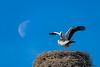 Love under the light of the moon (Myanoli) Tags: paarung couple storch störche stork animal tier vogel bird natur nature moon mond