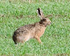 Hare - Taken at Stoke Doyle, Near Oundle, Northants. UK (Ian J Hicks) Tags: