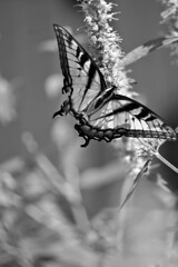 Swallowtail In Black & White (pam's pics-) Tags: omaha omahanebraska pampams picspam morris nebraska ne midwest us usa america butterfly nature natural bw swallowtail lauritzengardens botanicgardens sonya6000