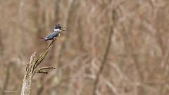 Song of the Kingfisher (morris 811) Tags: kingfisher beak singing nikon nikkor 500mm f4 d4s
