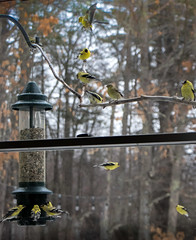 105/365: Goldfinch Central