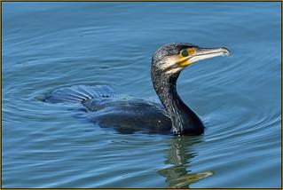Cormorant (image 1 of 2)